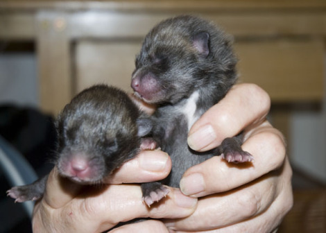Newborn Fox Cubs